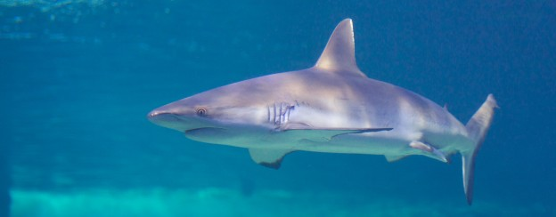 BRJ INC. Lemon Shark, Sydney Aquarium